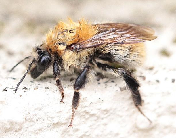 Gros plan d\'abeille par Bleiz.