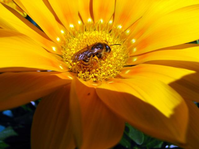 L'abeille butine par Louploup.