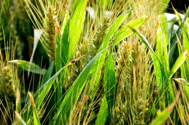 Vert comme le blé par Gewurtz.