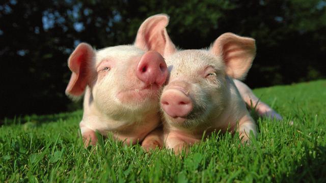 Deux cochons dans l'herbe par Le Disparu.