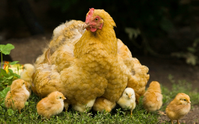 Poule et ses petits par Le Disparu.