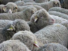 Troupeau de moutons par Françoise Dallet..