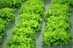 Culture de salade par Gewurtz.