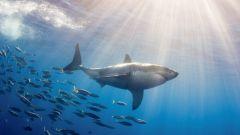 Grand requin blanc par Le Disparu.