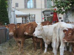 Troupeau de vaches par Françoise Dallet.