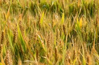 Champs de blé par Gewurtz.