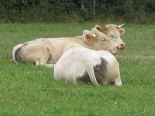 Vaches dans le pré par Caroline Cassy.