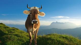 Vache de montagne par Le Disparu.