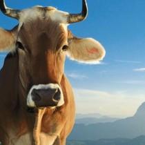 vache(le disparu)